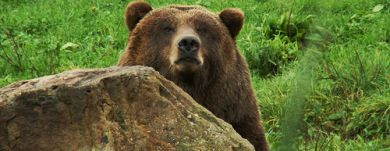Shy bears come into close contact with people
