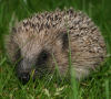 Hungry hedgehogs face death by starvation