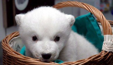 Germany gets yet another polar bear cub