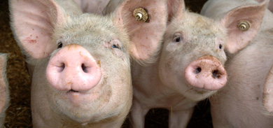 German pigs cause a stink in England
