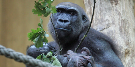 'Dr. Death' wants dead baby gorilla from Münster zoo