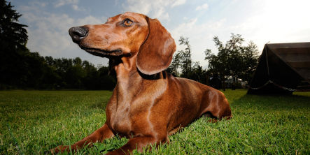 Thief steals car complete with sausage dog on back seat