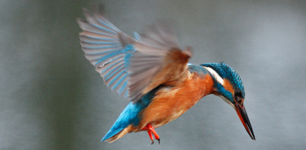 Kingfisher crowned bird of the year