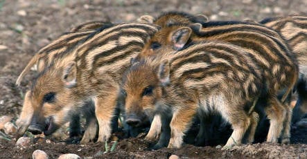 Hunters kill thousands of wild boars as population explodes