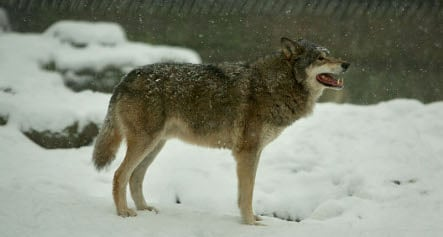 Who's afraid of the Saxon wolf?