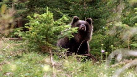 Bruno the bear's half-brother possibly headed for Bavaria