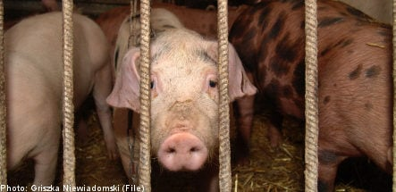 Pigs boiled alive at Swedish meat plants