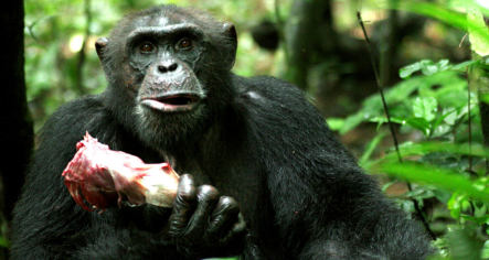 German study shows chimps trade sex for food