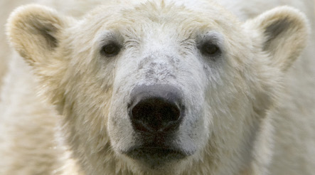Knut to stay at Berlin Zoo