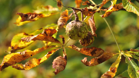 Experts ask Germans to help save chestnut trees from moths