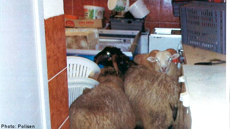 Suspected sheep slaughter in pizzeria