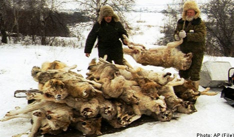 Sweden gives green light to controversial wolf hunt