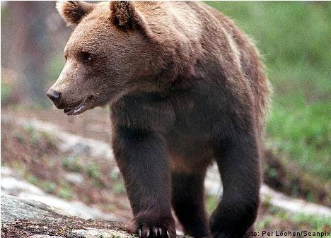 'Bears most feared by Swedes': report