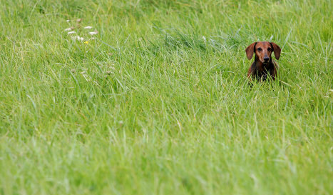 Digging into the great dachshund decline