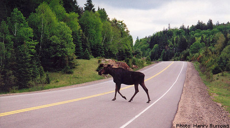 Driver hits elk and runs off with slice of thigh