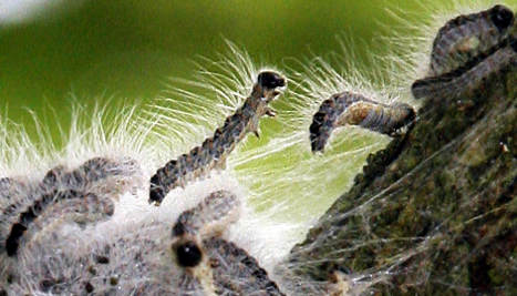 Woodland sealed off due to poisonous caterpillars