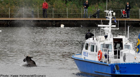 Elk takes harbour dip as police give chase
