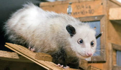 Cross-eyed opossum on diet to improve health and eye alignment