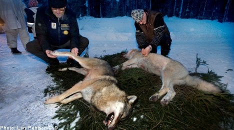 EU acts to stop Swedish wolf hunt