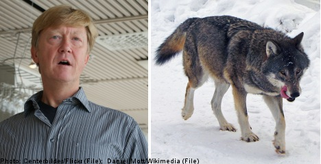 Sweden set to 'get tough' with illegal wolf hunters: minister