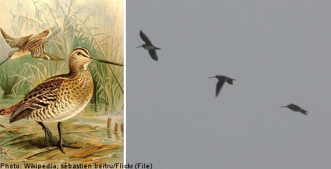 Swedish birds in 'record' non-stop flight to Africa