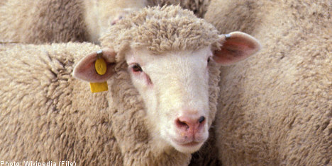 Swedish man accused of sex with sheep