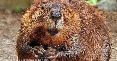 Swedish police called to fight beaver invasion