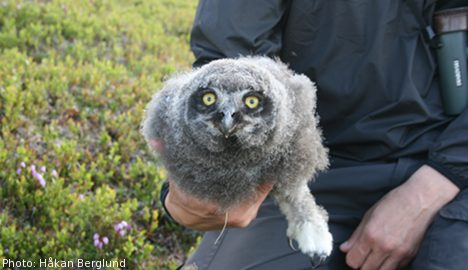Rare owls breed again after good 'lemming-year'