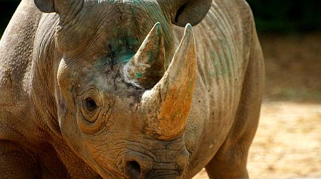 Rhinoceros head stolen from French museum