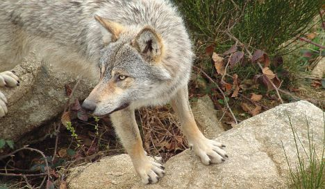 Rise in wolf attacks alarms farmers