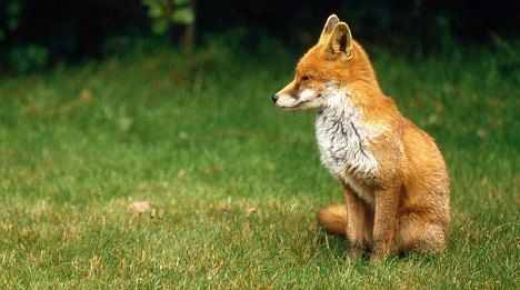 Court fines family over adopted fox