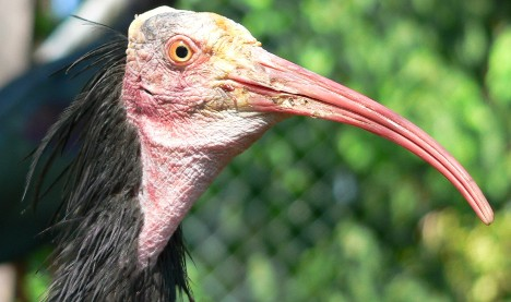 Rare ibis trained to migrate over the Alps