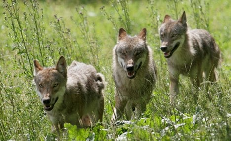 Wolves likely to spread across Germany