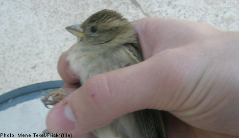 Swede jailed for catching 13,000 wild birds
