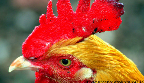Swedish roosters bred to become lip fillers