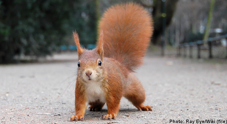 Swede given licence to kill 'feisty' squirrel
