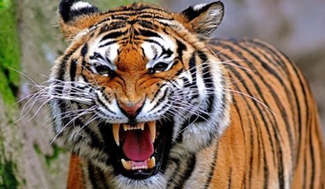 12-year-old bitten by Bengal tiger