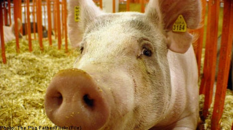 Bisexual boar 'head over squeals' for breeding bull