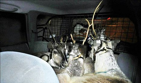 Norway driver stopped with five reindeer in car