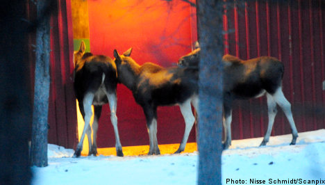Gang of thieving Swedish elk caught in the act
