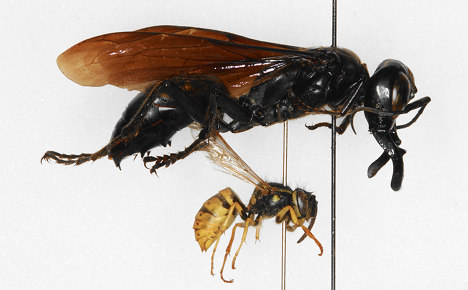 Giant wasp 'discovered in Berlin museum'