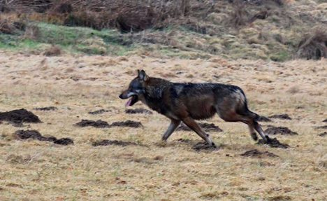 First wolf in Rhineland for 120 years shot dead