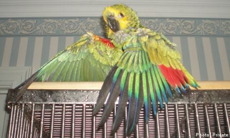 Blue the green parrot calls 'papa', finds mother
