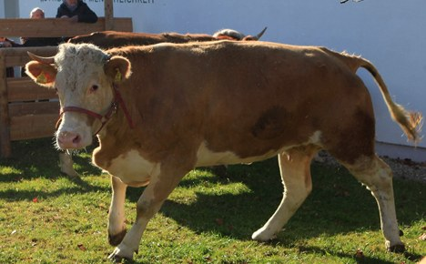 Yvonne the runaway cow to be a moo-vie star