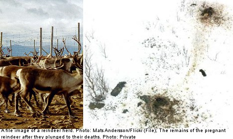 Pregnant reindeer death shock: 'they all exploded'