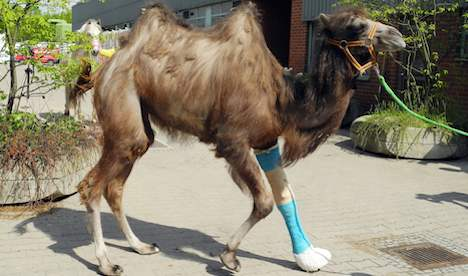 Camel's cast a first for Berlin vets