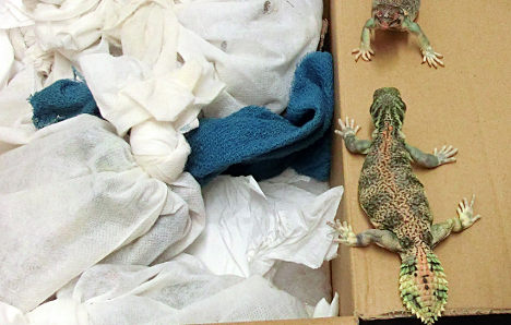 'They're my dinner,' says lizard smuggler