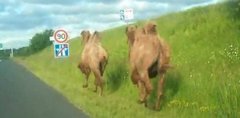 Escaped camels cause motorway chaos