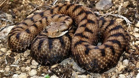 Snake expert in agony after Swiss viper bite