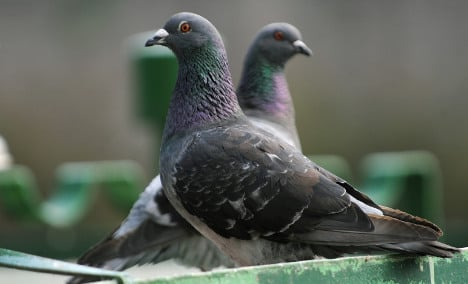 Town pigeon numbers hit hard by renovation